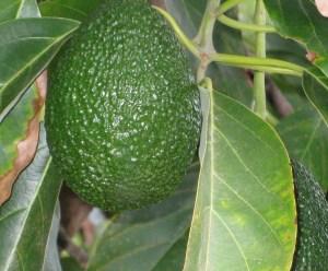 avocado large
